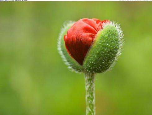 1393187660-oriental-poppy-flower-bud-manitoba